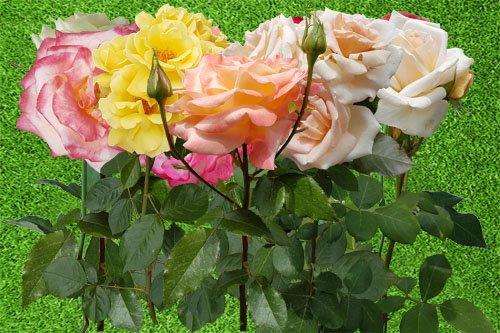 Клипарт Чайные розы на черенках