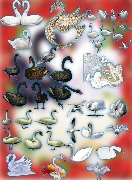 Клипарт png без фона - Белые и серые лебеди