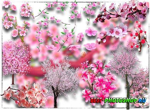 Клипарты png - Японская сакура